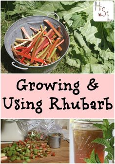 Rabarberplant in schaduw // Make the most of one spring's first edible fruits with this guide to growing & using rhubarb. Growing Vegetables, Fruits And Veggies, Gardening For Beginners, Gardening Tips, Growing Rhubarb, Rhubarb Recipes, Rhubarb Ideas, Rhubarb Rhubarb, Rhubarb Plants