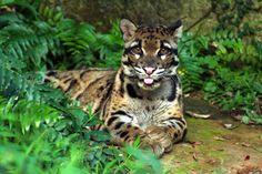 leopardo nebuloso felino di medie dimensioni che vive nel sud est asiatico.