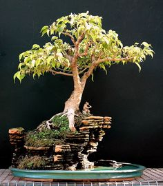 Weeping Fig Bonsai - Ficus benjamina