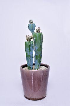 親子 Succulent Arrangements, Cacti And Succulents, Planting Succulents, Cactus Plants, Grafted Cactus, Plants Are Friends, Rare Species, Cactus Y Suculentas, Lawn And Garden