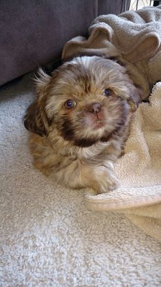 Ginger is home. My liver Shih Tzu puppy.