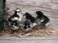 baby astralorp chicks