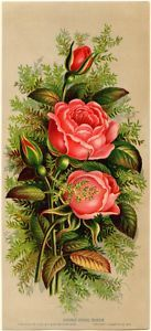1880  Vintage Trade Card Double Royal Roses |