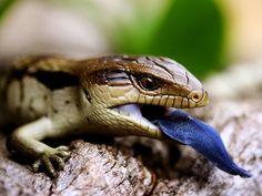 Blue-Tongued Lizard, Austrailia      Photograph by Kathy Parker