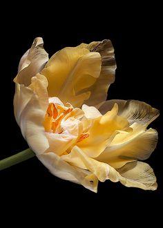 Tulip   Flickr - Photo Sharing!