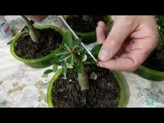 🤤😲V26 TÉCNICA PARA ENGROSSAR O CALDEX E DAR MAIS FLORES NAS ROSAS DO DESERTO😲🤤 - YouTube Cactus, Goat Farming, Plantar, Bonsai, Roots, Diy And Crafts, Youtube, Gardening, Videos