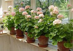 I love geraniums! Pink Geranium, Balcony Flowers, Flower Boxes, Summer Garden, Garden Planters, Calla Lily, Love Flowers, Low Maintenance Garden, Horticulture