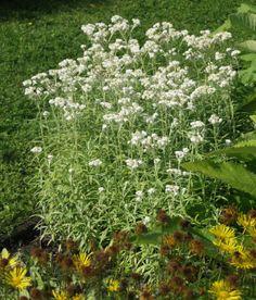 Helminukkajäkkärä - Pinsiön taimisto