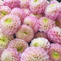 Wizard of Oz Dahlias - The Rose Shed shows dahlias used in wedding flowers