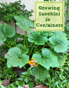 Vegetable Gardening How to Grow Zucchini in Containers - How to Grow Zucchini in containers and pots. Growing vegetables in pots. Growing Vegetables In Pots, Container Gardening Vegetables, Container Plants, Vegetable Gardening, Container Flowers, Succulent Containers, Growing Zucchini, Zucchini Plants, Freeze Zucchini