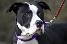 Rebel6974 is an adoptable Boxer Dog in Williamsburg, VA. Rebel is a handsome 1 yr 6 month old netured Boxer/Pitbull mix. He is one good looking and fun-loving boy! Rebel is very sweet, friendly and a ...