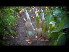 Attention to my Sis: :) Fawn and White Indian Runner Ducks | Farm Raised With P. Allen Smith