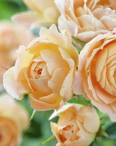 Rose 'Sweet Dream' • Rosa 'Sweet Dream' • Plants & Flowers