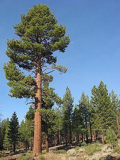 Pinus jeffreyi JEFFREY PINE TREE Seeds!