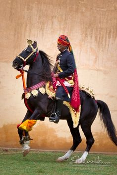 Lovely Marwari horse of India with curled ear tips