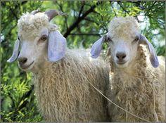 La fibra denominata 'MOHAIR' si ricava dalla capra d'Angora (Capra hircus aegagrus), originaria dell'Anatolia. Il manto di questo animale è costituito da fibre lanose; i peli più pregiati sono lunghi, leggermente arricciati e presentano una lucentezza simile alla seta. Il colore è solitamente bianco argenteo molto brillante e, a volte, grigio cenere, rosato, marrone o nero.PETTINATURA DI VERRONE