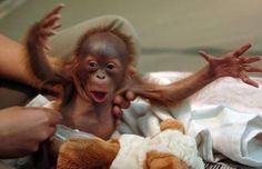baby Orangutan!  How sweet.