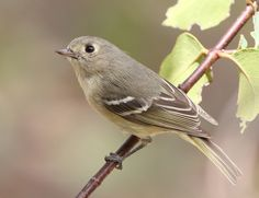 Hutton Vireo can be found at Rockhound State Park which is part of the SW NM Birding Trail