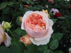 Juliet/Ausjameson' rose photo