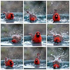 Cardinal taking a bath