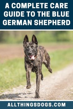 The Blue German Shepherd is no different than a traditional tan Shepherd, and since they were bred to work, German Shepherd Dogs require a lot of exercise. Take a look at our complete Blue German Shepherd care guide for reference. Blue German Shepherd, German Shepherd Breeds, German Shepherd Puppies, German Shepherds, German Dogs, Purebred Dogs, Dog Training, Exercise, Traditional