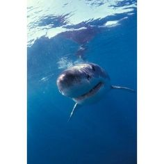 Underwater View of a Great White Shark South Africa Canvas Art - Michele Westmorland DanitaDelimont (24 x 35)