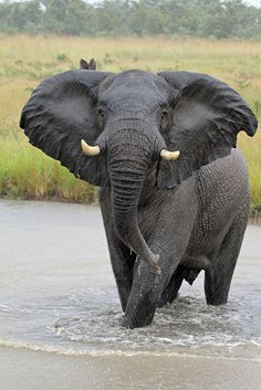 African elephants are the elephants of the genus Loxodonta, consisting of two extant species: the African bush elephant and the smaller African forest elephant. Loxodonta is one of the two existing genera in the family Elephantidae.