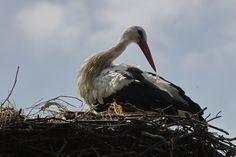 Storch in Pommern