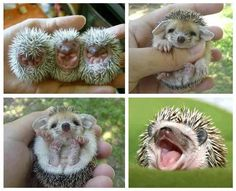 When hedgehogs are born their spines are just below the skin, so they don't cause their mother pain. They are blind at first, but after about 2 weeks their spines begin to show more, and their eyes open. Hedgehogs also have baby teeth, just like humans. These fall out by about week 3.