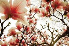 Magnolia Lomo