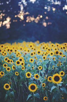 flower petals. Sunflowers. Image via: http://www.twothirds.com/