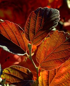 Backlit Fall Colors Witch Hazel Photograph