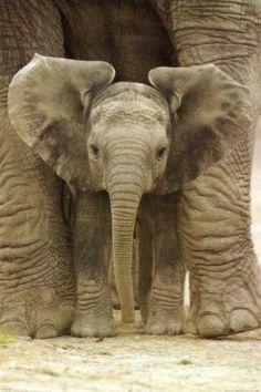 Look at those beautiful ears! #socute #elephants #wildlife