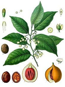 The nutmeg tree is any of several species of trees in genus Myristica. The most important commercial species is Myristica fragrans, an evergreen tree indigenous to the Banda Islands in the Moluccas (or Spice Islands) of Indonesia. The nutmeg tree is important for two spices derived from the fruit: nutmeg and mace.