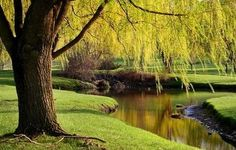 Another weeping willow.