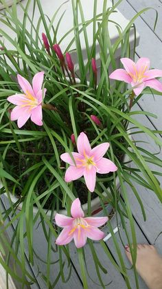 Exotic Flowers, Love Flowers, Beautiful Flowers, Rain Lily, Alcohol Aesthetic, Cool Plants, Shrubs, Flower Pots, Planting Flowers