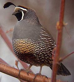 California designated the California valley quail as official state bird in 1931.
