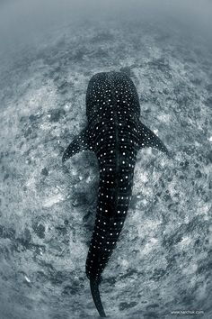 funkysafari:  Whale Shark, Maldives by Andrey Narchuk