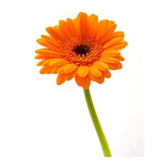Orange Gerbera (1 320 ZAR) ❤ liked on Polyvore featuring backgrounds