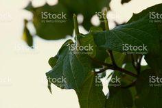 Kawakawa is well used in Rongoā, the Maori medicinal use of plants. Ge Image, Image Now, Medicinal Plants, Alternative Medicine, Plant Leaves, Royalty Free Stock Photos, Traditional, Maori, Healing Herbs