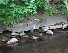 Blue Heron in Washington D.C. - I was walking in Washington D.C.'s Rock Creek Park and spotted this beautiful Blue Heron.