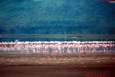 """* Lago Nakuru * """"Flamingos"""". Kenya."""