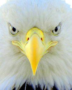 Love this Closeup of a Bald Eagle