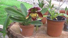 Cultivando orquídeas - Parte 2: ¿Cómo regar las orquídeas?