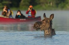 Paddling the back country of Algonquin Park in Ontario, Canada in search of moose is often a well rewarded effort. Eye level with a 750 pound subject is hard to beat! Kayaking, Canoeing, Big Boyz, Algonquin Park, Camera Shy, Otters, Polar Bear, Wilderness, Ontario