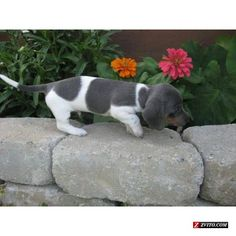 Blue & Tan Piebald