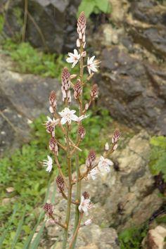 Asphodelus fistulosus - this plant is invasive in some areas so beware