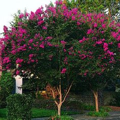 Top 10 trees for small spaces   Crape myrtle   Sunset.com...perfect to line the wall for privacy.