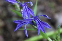 숫잔대( Lobelia sessilifolia )