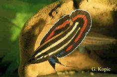 Parosphromenus tweediei